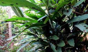Big Cardamom Crop